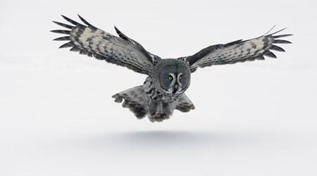 The Great Grey Owl, Pajala