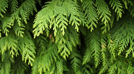 Cedar Forest of Alyko