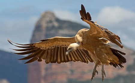 A flight over the last hideouts of the cretan Vulture