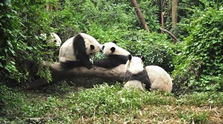 The Chengdu Giant Panda Breeding Research Base