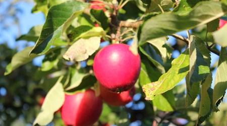 28-30 September, Applemarket in Kivik