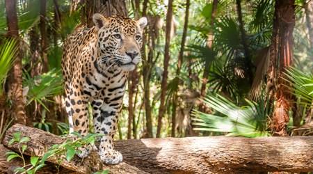 Parada Jaguar Rescue Center