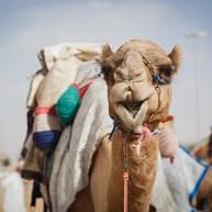 Al Ain Camel Souq