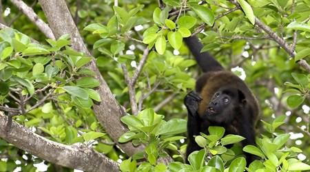 Howler monkey tour