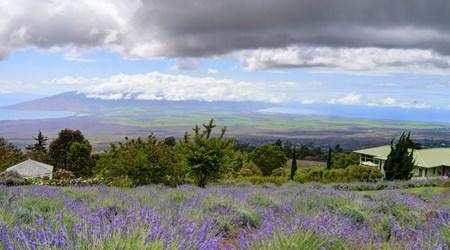Alii Kula Lavender