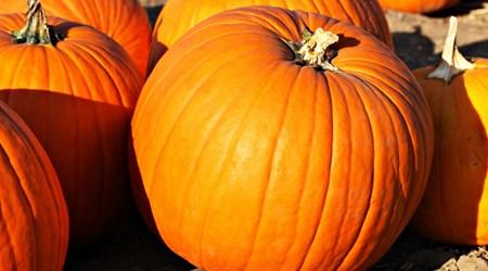 Tanaka Farms U-Pick Pumpkin Patch