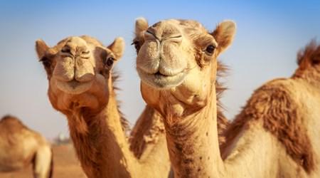 Camel Rides