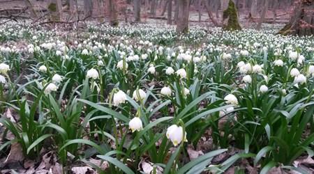 Śnieżycowy Jar Floral Reserve