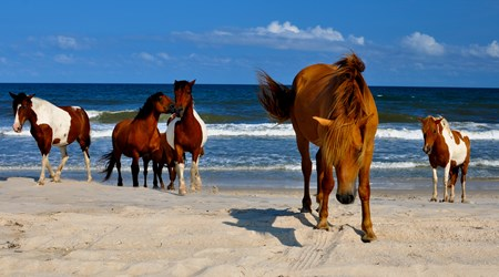 Assateague's Wild Ponies