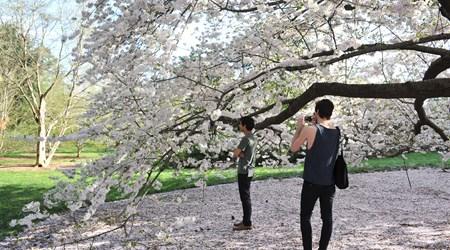 Sakura Matsuri (April)