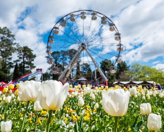 Tulips and ferris wheel in the background