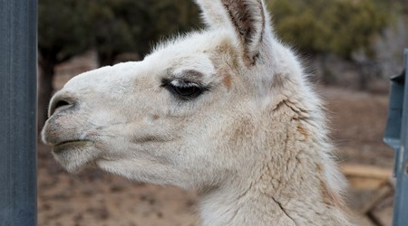 Halligan Ranch Llama Adventures