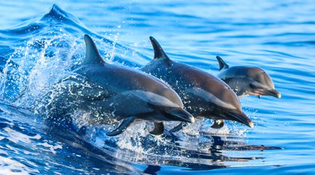 Spot Dolphins