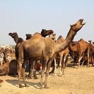 Al Qassim Camel Market