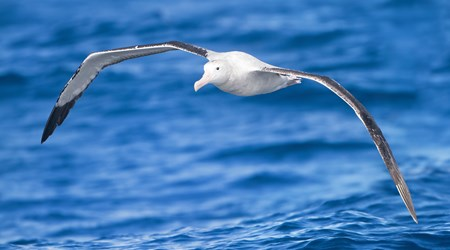 Dunedin's Royal Albatross Colony