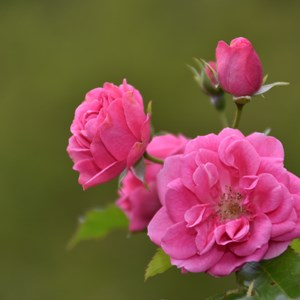Pink roses pictured near a village in the Alpes-Maritimes / GERARD BOTTINO/Shutterstock.com