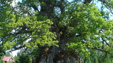 The Kvill Oak